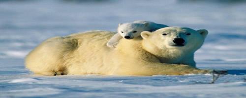 polar-bears-1024x768